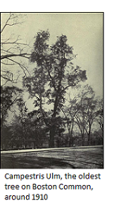 Campestris Ulm, the oldest tree on Boston Common, around 1910